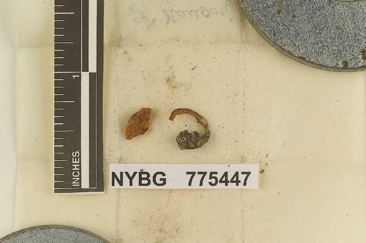 Naucoria montana image