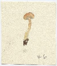 Hebeloma subtestaceum image