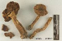 Tricholoma chrysenteroides image