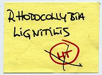 Rhodocollybia lignitilis image