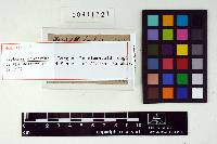 Leptonia approximata image