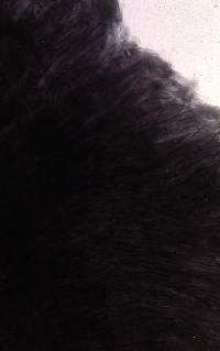 Leptonia azurea image