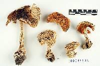 Amanita breckonii image