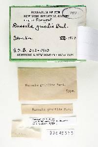 Russula gracilis image