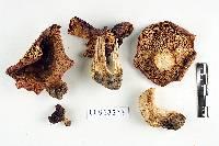 Russula inconstans image