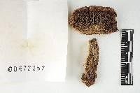 Russula cinerascens image