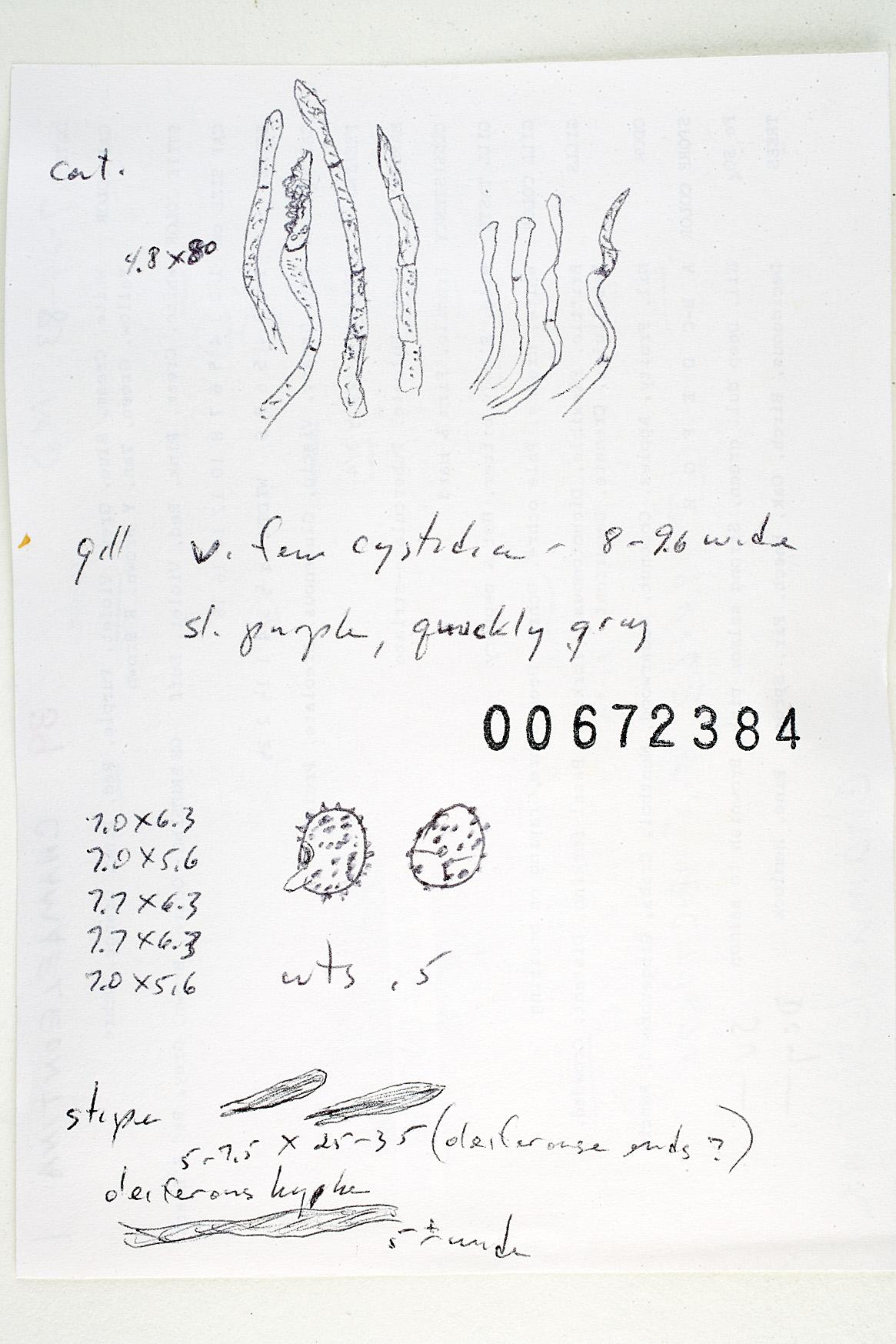 Russula risigallina image