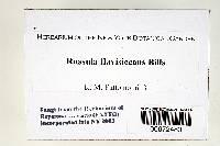 Russula flavisiccans image