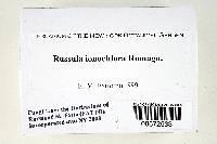 Russula ionochlora image