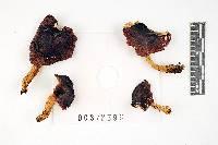 Russula montana image