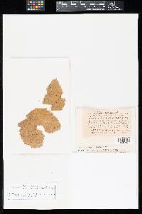 Puccinia phlomidis image
