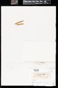 Uromyces ipomoeae image