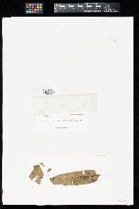 Image of Uredo cedrelae