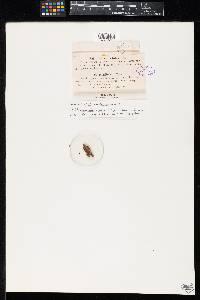 Rebentischia pomiformis image
