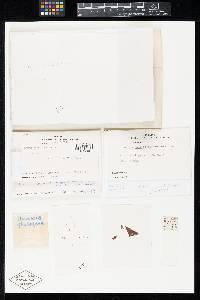 Humaria phyllogena image