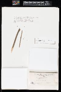 Phoma pennsylvanica image