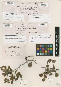 Image of Uncinula nothofagi