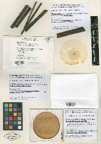 Image of Clonostachys pseudochroleuca