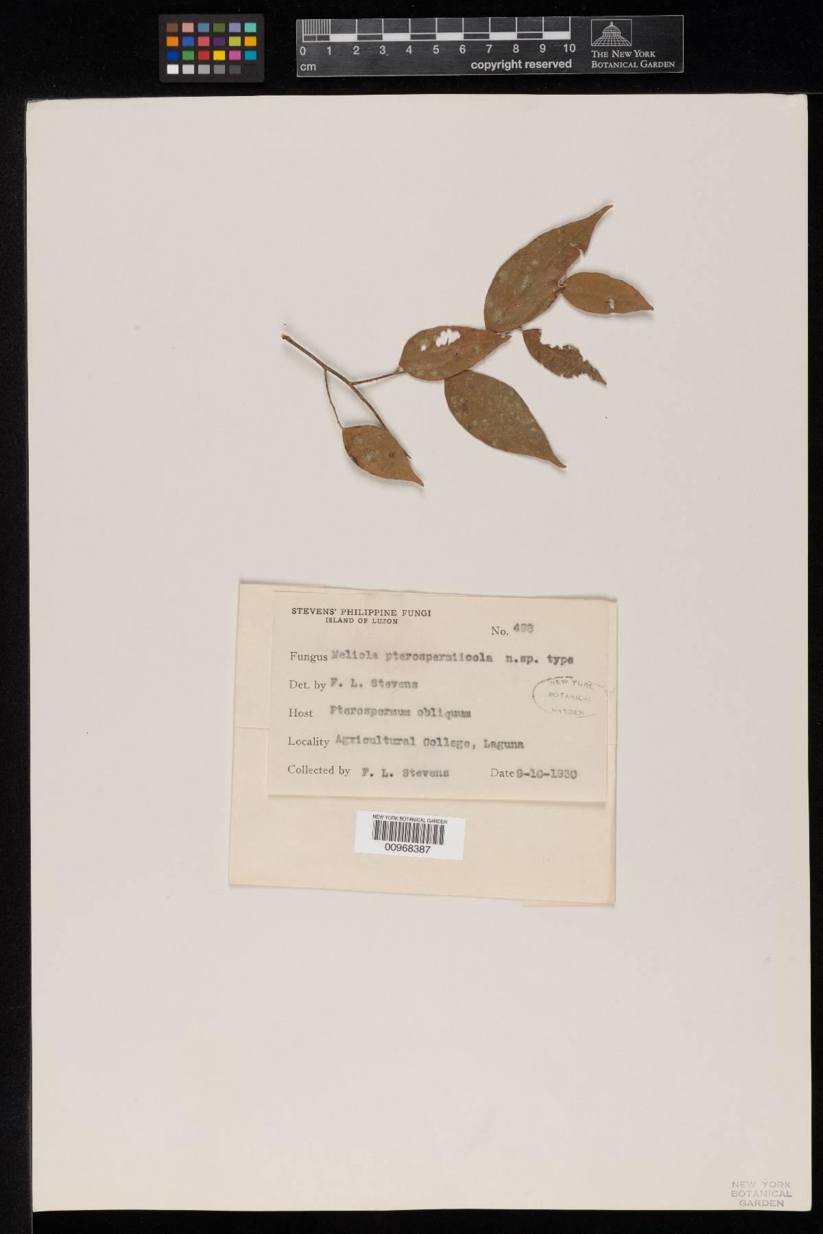Meliola pterospermicola image