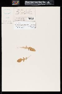 Pseudocercospora oenotherae-speciosae image
