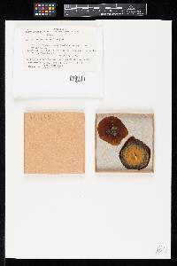 Ophionectria trichospora image