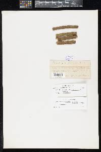 Image of Asteromassaria pulchra