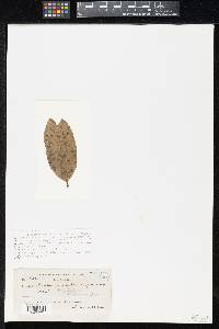Image of Lembosia sapotae
