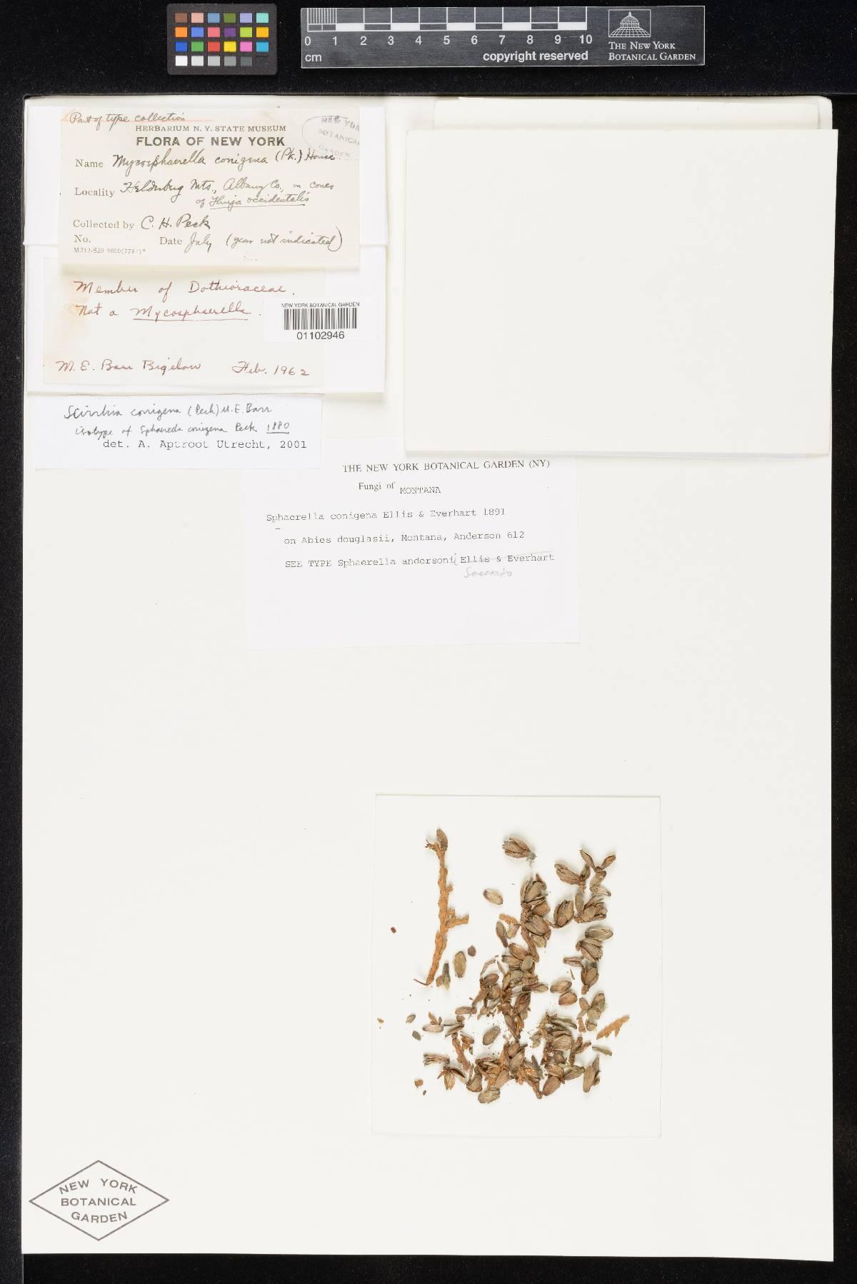 Sphaerella convexula f. caryae-tomentosae image