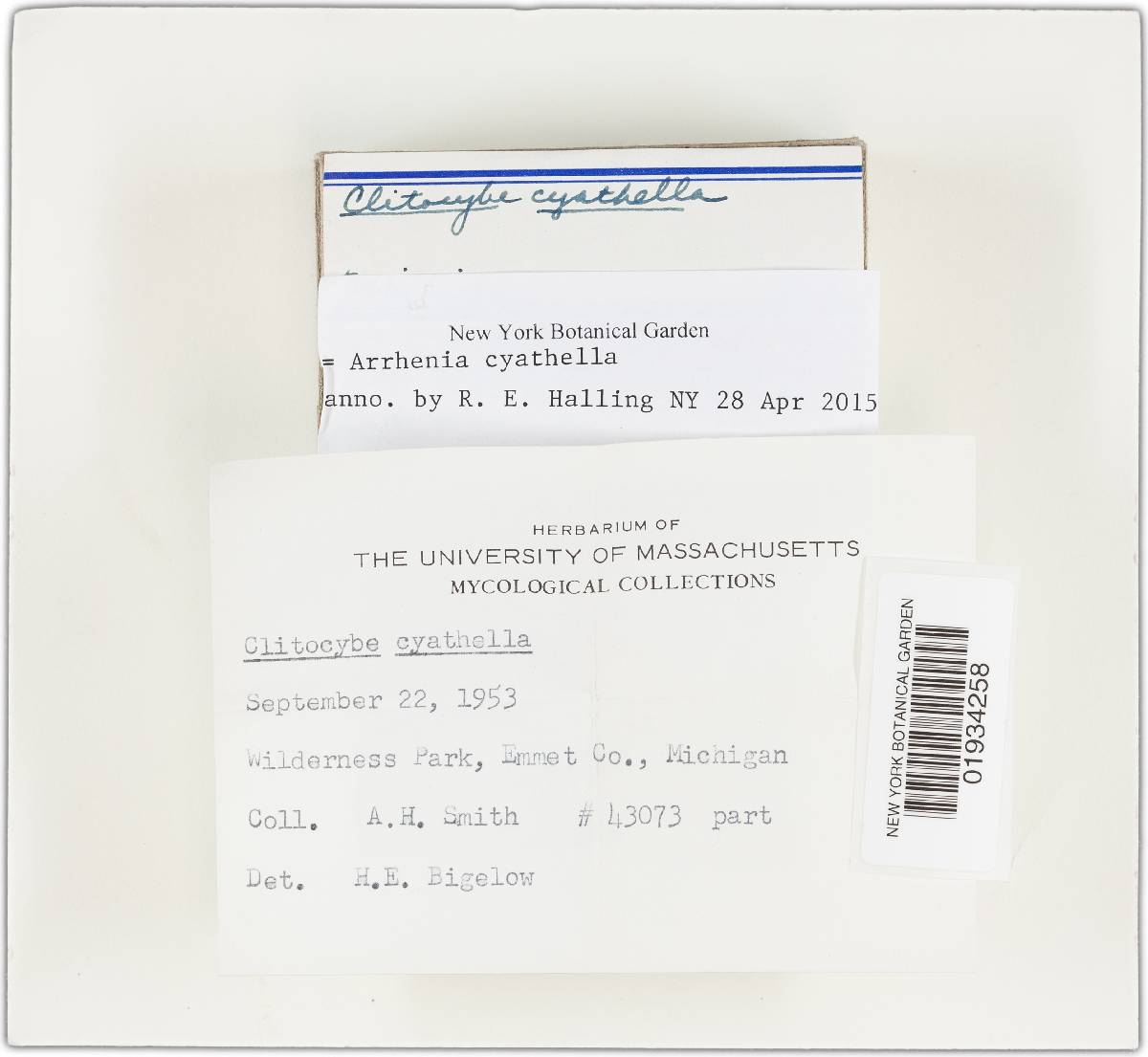 Omphalina cyathella image