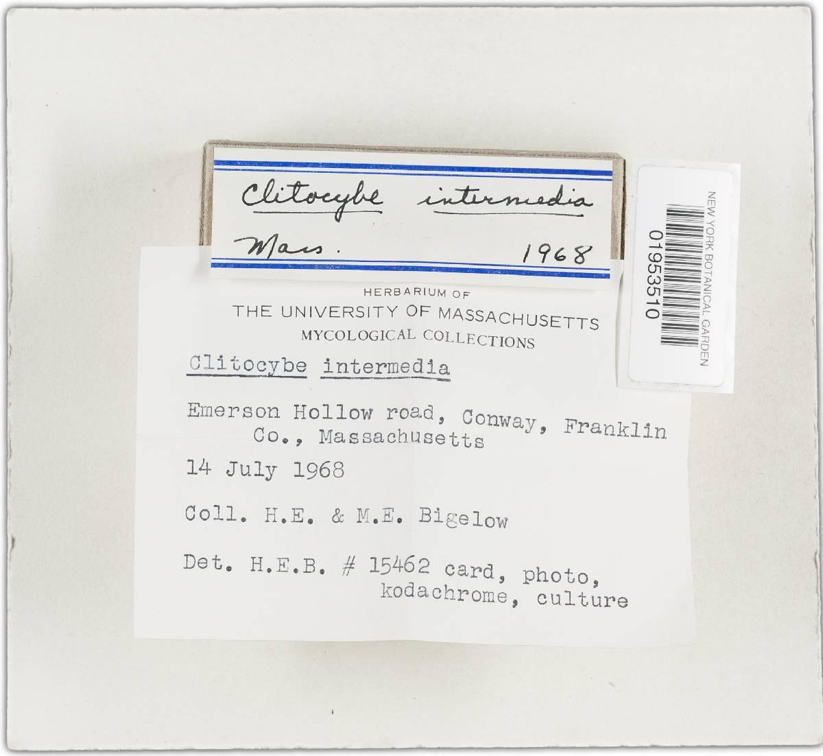 Clitocybe intermedia image