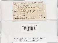 Crepidotus herbarum image