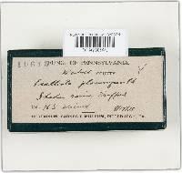 Agaricus placomyces image