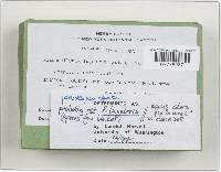 Phaeocollybia lugubris image