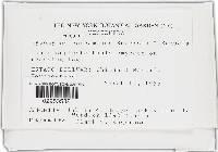 Image of Hypomyces pergamenus
