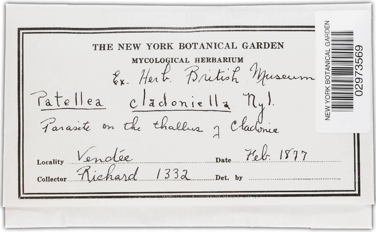 Patellea cladoniella image