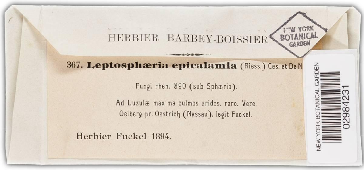 Leptosphaeria epicalamia image