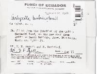 Pachyella babingtonii image