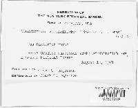 Cladobotryum verticillatum image