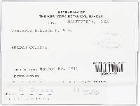 Ovularia bullata image