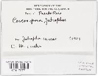 Pseudocercospora jatrophae image