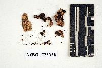 Hydnomerulius pinastri image