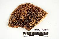 Daedalea flavida image