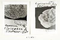 Polyporus floccosus image