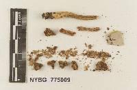 Melanoleuca platyphylla image
