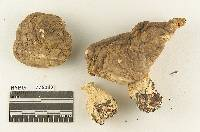 Melanoleuca bicolor image