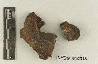 Melanoleuca australis image