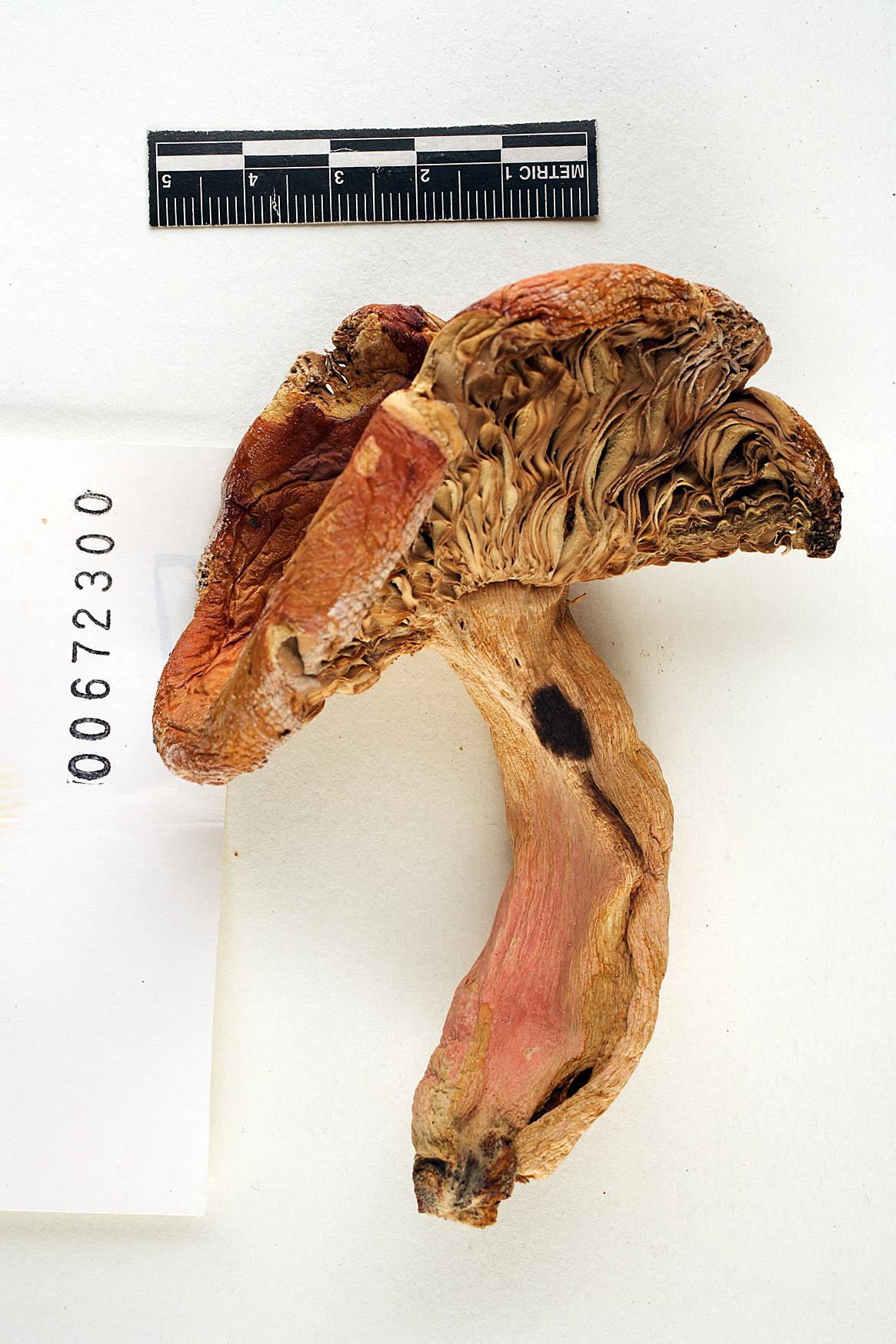 Russula crataegorum image
