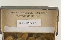 Lycoperdon dakotensis image