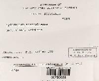Zelleromyces australiensis image