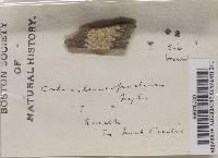 Image of Sphinctrina leucopoda